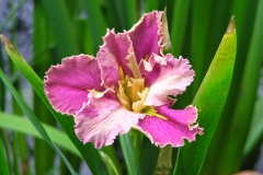 Iris in a koi pond